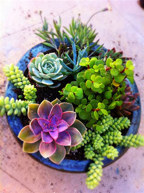 how to care for potted succulents luna see diy potted mixed succulent garden