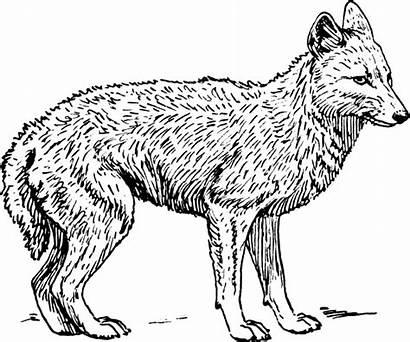 Coloring Pages Jackal Clipart Animal Animals Printable