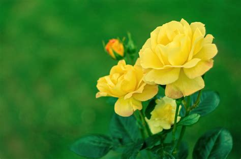 Roses That Are Yellow: Choosing Yellow Rose Varieties For ...