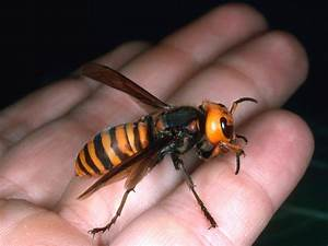 Giant Hornets Kill Dozens In China  Warm Temps Might Be Cause   The Two