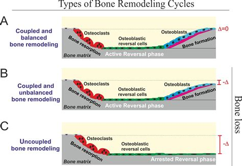 reversal cells may tip the balance between bone formation