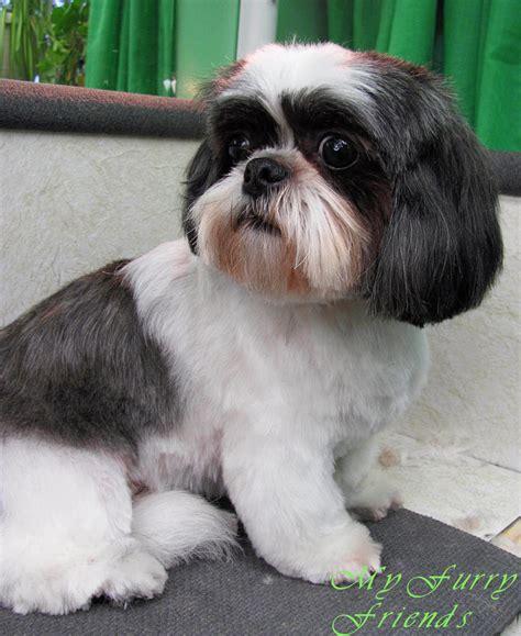 hairstyles  shih tzu dogs pets hairstyles  shih tzu