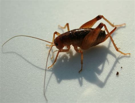 Those Crickets In Your Basement? They Probably Came From Asia. Bronze Kitchen Appliances. Modern Kitchen Island Pendant Lights. Fluorescent Kitchen Light. Changing Kitchen Light Fixture. Commercial Kitchen Islands. Granite Top Kitchen Island With Seating. Light Oak Kitchen Table And Chairs. Kitchen Island Cart With Drop Leaf