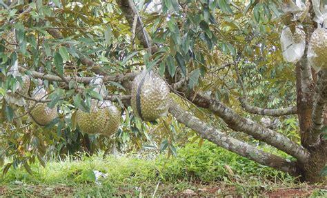 Kebun Buah Durian yag Eksotis (Rajanya Durian Mothong
