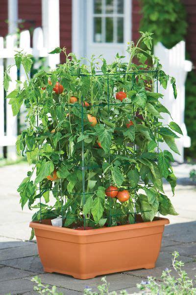 coltivare pomodori  vaso  nellorto cucina green