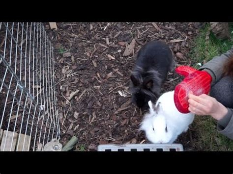 my rabbit is shedding rabbit shedding moulting tips advice
