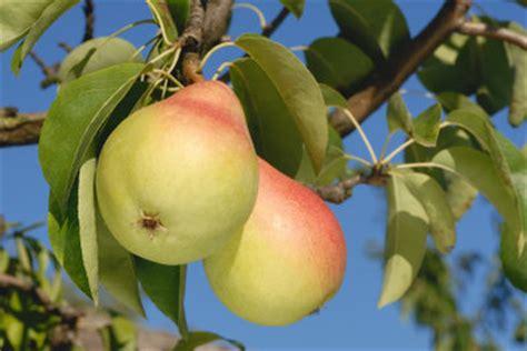 Einen Birnbaum Pflanzen