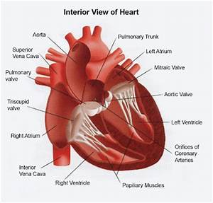The gallery for --> Heart Anatomy Interior View