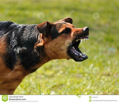 angry dog stock photo image