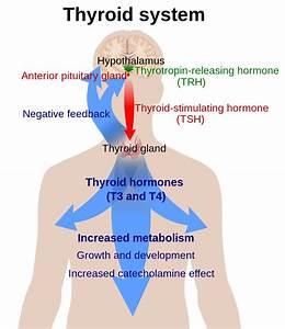 Clen Thyroid