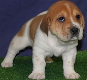 Beagle Labrador Mix Puppies - 4k Wallpapers