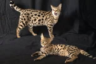 how much does a cat cost how much does a cat cost fashion lifestyle