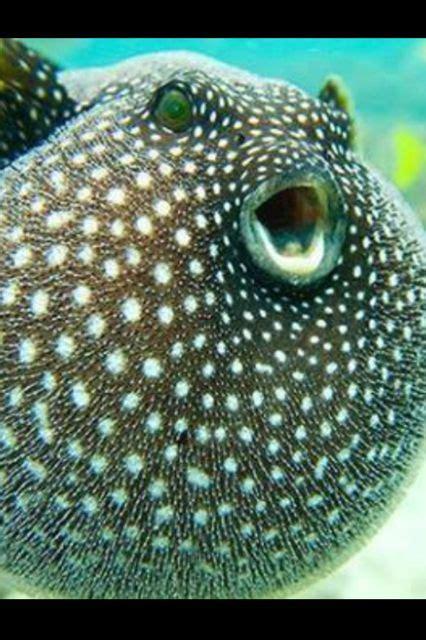Animal Puffer Fish