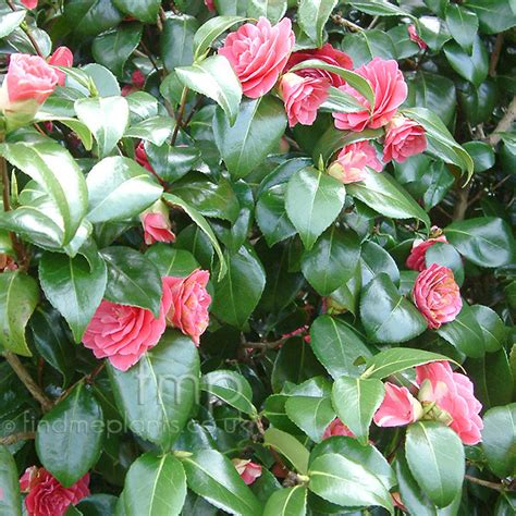 where to plant camellia camellia japonica rubescens major information pictures cultivation tips