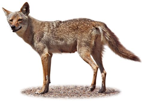 coyote facts   coyotes eat dk find