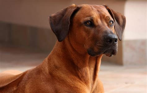 play yard baby rhodesian ridgeback breed information pictures more