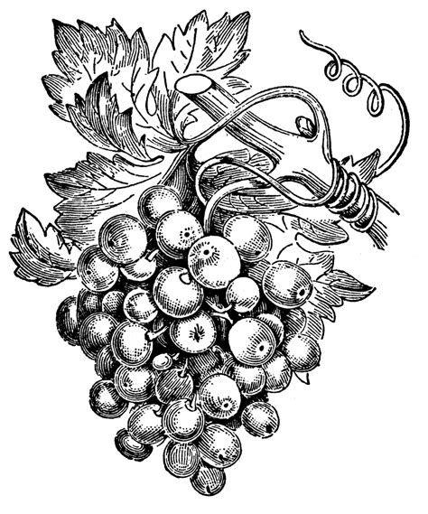 Vintage Wine Grape Kitchen Decor by Grape Vine Clip Art Wine Pinterest