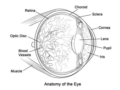partes del ojo humano  colorear