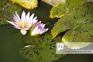 Ups Preise Berechnen : lotusblume nelumbo im wasser thailand close up lizenzpflichtiges bild bildagentur ~ Themetempest.com Abrechnung