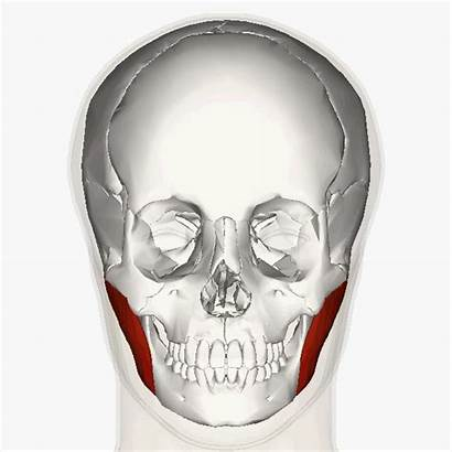 Muscles Muscle Masseter Head Face Jaw Superficial