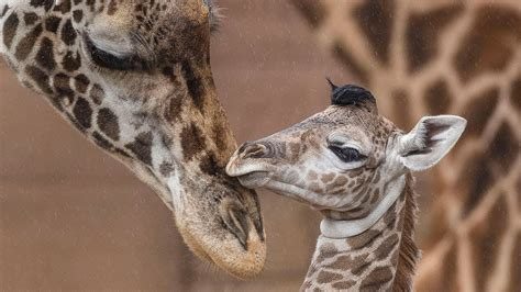 Baby Giraffes Run And Play