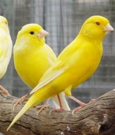 for a pile of canaries bright yellow pinterest