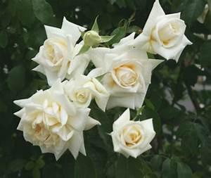 Ilse Krohn Superior : ilse krohn superior kletterrose leuchtend reinwei rosen ehling ~ Eleganceandgraceweddings.com Haus und Dekorationen