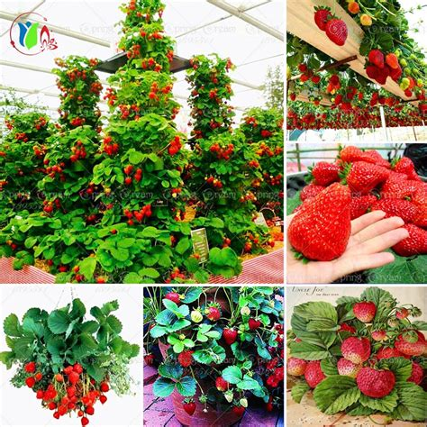 Climbing Strawberry Plants Reviews  Online Shopping
