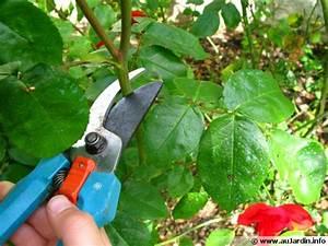 Comment Tailler Les Rosiers : la taille des fleurs de rosiers ~ Nature-et-papiers.com Idées de Décoration