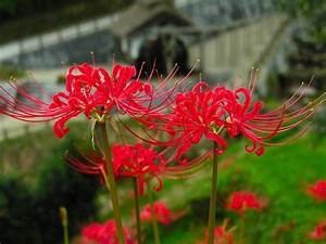 HD Red Spider Lily Free Wallpaper | Download Free - 140431
