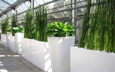 Schachtelhalm  Equisetum  Wasserbambus In Raumteiler