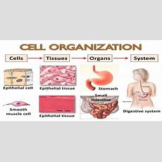 Differences Between Tissue And Cell  Qs Study