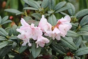 Wann Geranien Pflanzen : wann rhododendron pflanzen wann darf ich rhododendron ~ Lizthompson.info Haus und Dekorationen