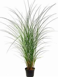 miscanthus sinensis gracillimus feinhalm chinaschilf With garten planen mit zimmerpflanzen versand online bestellen