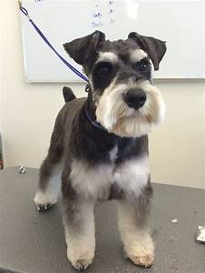 Image Result For Miniature Schnauzer Grooming Cuts Dogs