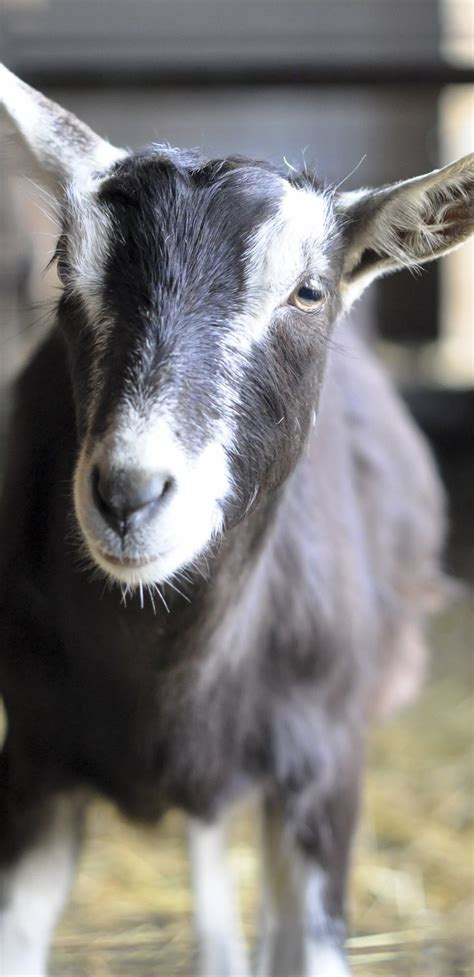 pin  goat milk stuff  goats goats cute goats