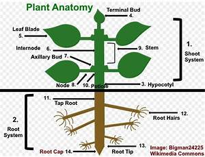 Parts Of Flower And Plant  Pistil  Sepal  Stamen And More