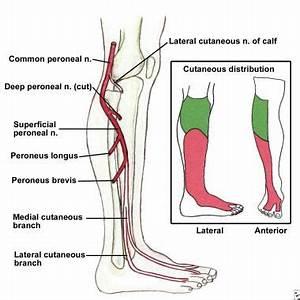 Foot Drop: Background, Anatomy, Pathophysiology