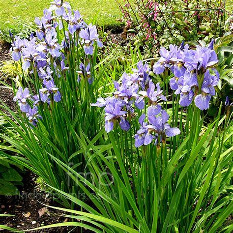 a big photo of iris sibirica from findmeplants