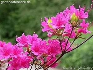 Japanische Pflanzen Winterhart : japanische azaleen rhododendron x obtusum syn ~ Michelbontemps.com Haus und Dekorationen