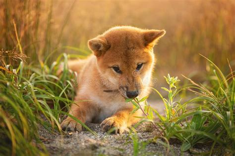 See more of mika the mighty red shiba inu on facebook. Cute And Happy Red Shiba Inu Puppy Dog Lying Outdoor In ...