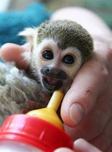 Baby Squirrel Monkeys Are Too Cute To Be Real | Australian ...