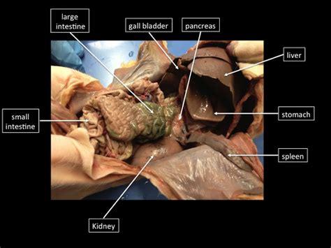 Girls Rock Bio Fetal Pig Dissection