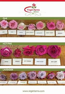 Rose Variety Chart Rose Variety Comparison Chart Pink Pink Lavender