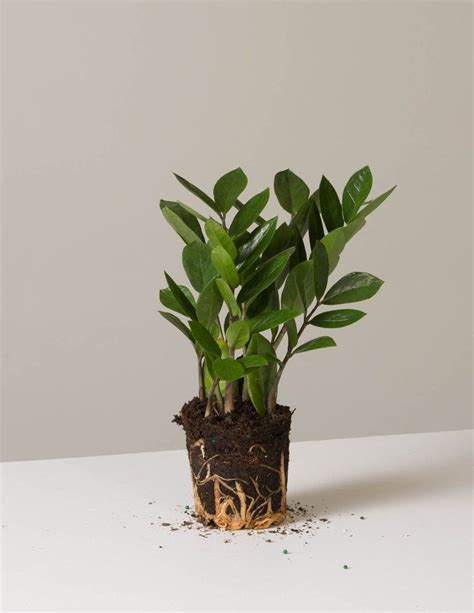 Everything You Need To Know About Zz Plants Gardenista