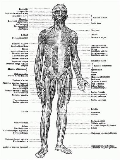 Muscles Human Anatomy Coloring Muscle Myositis Pages