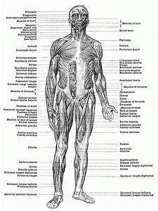 Free Muscle Anatomy Coloring Pages