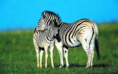 Zebra Desktop Wallpapers Backgrounds Pixelstalk