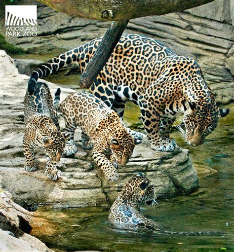 zoo jaguar woodland park cubs arizona dow dennis animal triplets animals swim cheetah inka turn mom