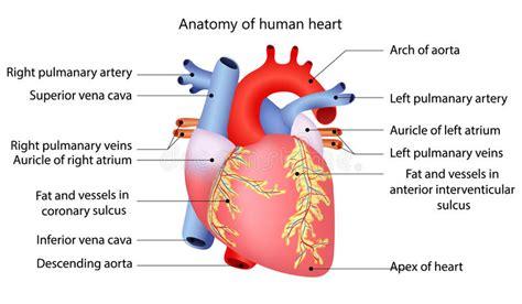 medical human heart stock vector illustration  cardiac